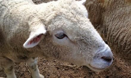 All We Like Sheep…